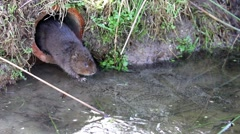 Water Vole Looking out of a Drain Pipe onto Ice Stock Footage