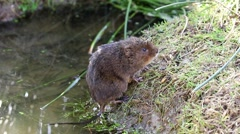 Water Vole Looking out of a Drain Pipe Stock Footage
