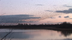 Tranquil scene as flock of birds fly in evening sky - stock footage