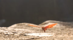 Orange Butterfly Flaps Wings on Stony Surface Stock Footage