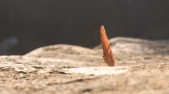Orange Butterfly Comes Flying Sits on Stone Flaps Wings - stock footage