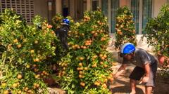 Man chose tangerine-trees in pots on market Stock Footage