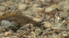 Spanish Slug Macro Time Lapse Tracking Shot Stock Footage