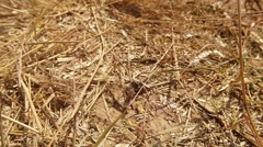 Ground Wasp Digging Around His Burrow in the Dry Grass Stock Footage
