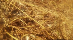 Ground Wasp Crawling on the Dry Blades of Grass Stock Footage