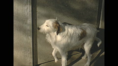 Vintage 16mm film, 1955, France, dog wanting in, waiting at the door Stock Footage