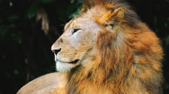 Portrait of large African lion looking around with calm expression Stock Footage