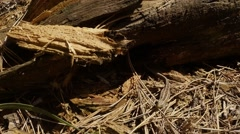 Lizard Stiffened on Small Dry Twigs About Logs Stock Footage