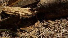 Lizard Stiffened on Small Dry Twigs Beside Logs Stock Footage
