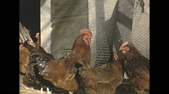 Vintage 16mm film, 1955, France, chickens b-roll, close up Stock Footage