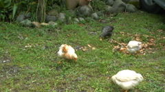 Chickens Forage on a Farm in Ecuador - stock footage