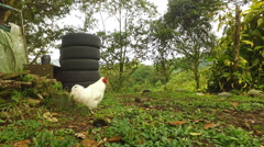 A Rooster and a Chick Run in front of the Camera - stock footage