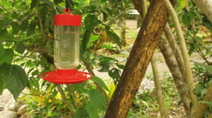 Slowmotion of an Empress Brilliant Hummingbird Landing on a Feeder Stock Footage