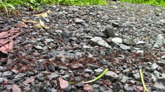 Army Ants March over a Trail in Ecuador - stock footage
