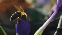 Bee landing on a purple flower and pollinate by collecting pollen and nectar. Stock Footage