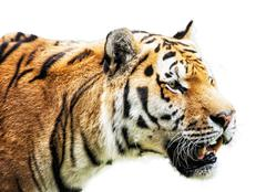 Siberian tiger - Panthera tigris altaica - portrait on the white background - stock photo