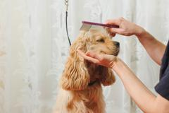 groomer combs dog for grooming - stock photo