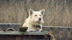 White Dog Guarding the Fence Countryside Autumn Stock Footage