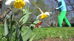 Daffodil narcissus flower and blur gardener man cutting lawn. 4K - stock footage