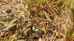 Earthen Wasp Riding a Grasshopper on the Earth Coated With Dry Grass Stock Footage