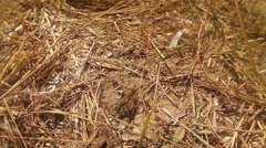Ground Wasp Collects Different Materials on the Ground Coated With Dry Grass Stock Footage