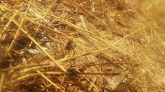 Earthen Wasp Crawling on the Dry Grass Stalks Stock Footage