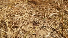Wasps go by Ground Input Covered With Dry Grass - stock footage