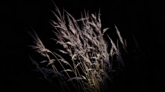 Yellow dry grasses waving in the wind evening, under the light of a reflector Stock Footage