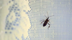 Insect with six legs climb a curtain covering a window closed Stock Footage