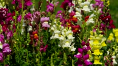 Snapdragon in summer Stock Footage