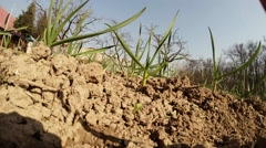 Small Shoots of Plants Grow in Ground Under Sun Stock Footage