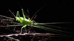 Green grasshopper moving the blades of grass that bends under its weight Stock Footage