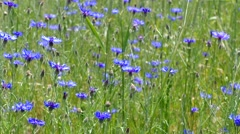 Blue Cornflowers in summer Stock Footage