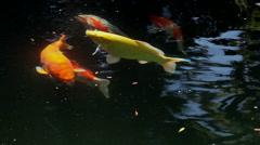 Stock Video Footage of KOI CARP FISH TOWN GARDEN POND SCARBOROUGH