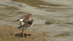 Lesser Yellowlegs. Stock Footage