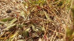 Earthen Wasp Climbs on Plants on the Ground Stock Footage