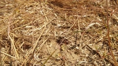 Wasps Enter and Exit Through the Ground Input Covered With Dry Grass - stock footage