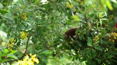 Farmer showing the yellow flowers of a tree on a tropical farm Stock Footage