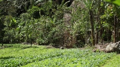 Beautiful rows of greens growing on a tropical farm field - stock footage