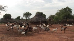 Hamer traditional village with herd of goats outside fenced hut Stock Footage