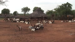 Hamer village with herd of goats outside traditional fenced hut Stock Footage