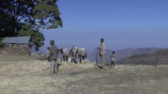 Horses thresh hay driven on by men and boy in Simien Mountains Stock Footage