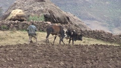 Man plowing dry fields with traditional plow behind cows using whip Stock Footage