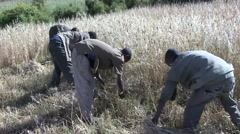 Men cut hay with speed by hand in Simian Mountains Stock Footage