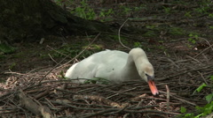 Swan Building Nest in Spring Stock Footage
