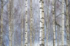 Trunks of birch trees Stock Photos