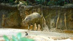 Babirusa in his Habitat Enclosure in a Popular Public Zoo. Video UltraHD Stock Footage