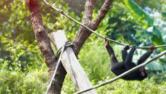 Single Chimpanzee Hangs from a Vine at the Zoo. Video UltraHD Stock Footage