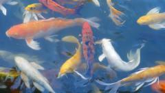 Carp fish in pond Stock Footage