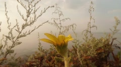 Stock Video Footage of a Yellow Flower Blooms in Grass That Absorbs Fog